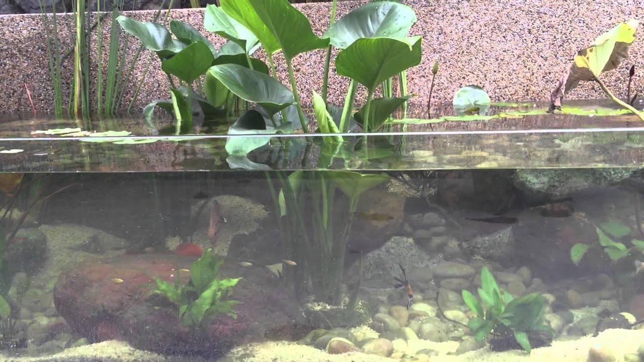 Discus Fish In My Garden Pond Cum Aquarium.   YouTube