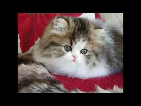 Adorable Persian Kitten Playing
