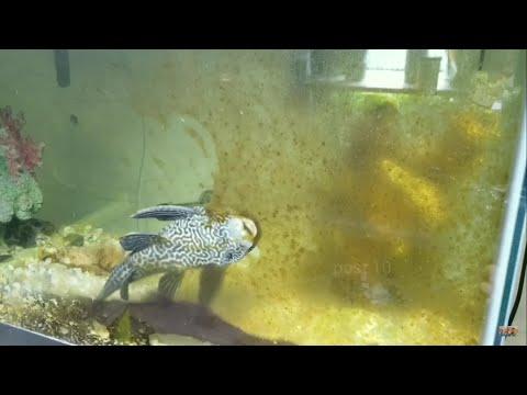 Suckerfish Cleanup Algae Timelapse, Plecostomus Fish