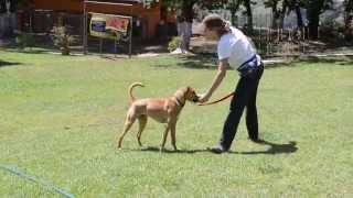 Milo Training With B.a.t. To Reduce Leash Reactivity Toward Dogs