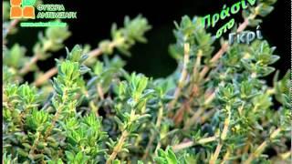 Εντομοαπωθητικά Φυτά