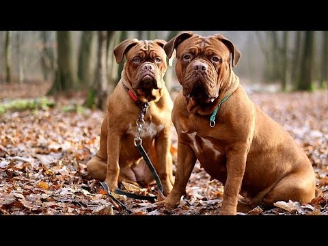 Dogue de Bordeaux - Giant and Respectable Dog Breed