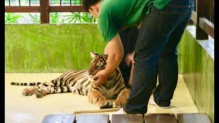 Tiger Kingdom Phuket | Getting Real Close with Giant Tigers 🐯