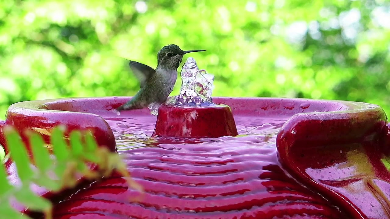 Hummingbirds - video reference for animators