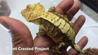 Giant Crested Gecko Project