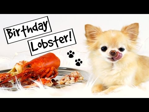 CUTE PUPPY sized chihuahua eats HUGE LOBSTER for birthday