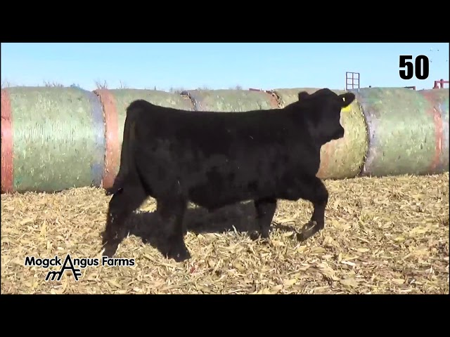 Mogck Angus Farms Lot 50