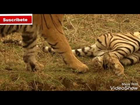 •La Reyna tigre• Documental© World Discovery News®