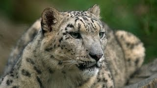 Twelve countries, one aim: To save the snow leopard