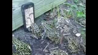 ПРИКОЛ.жабы клюют на телефон