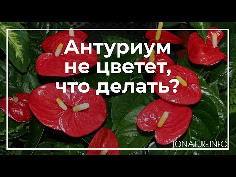 Антуриум не цветет, что делать? | toNature.Info