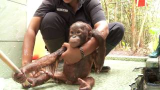 Visit the Wild Orangutans of Borneo with Dr Birute Galdikas & OFI