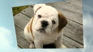 House Training A French Bulldog