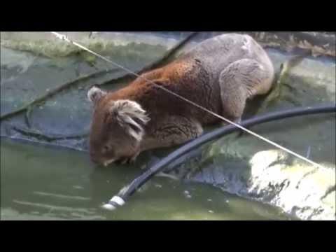 Thirsty Koala drank again in my fish pond