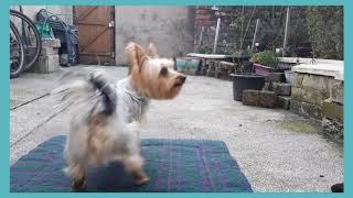 Dog Training: Zym (Australian Silky Terrier)  Novice Training