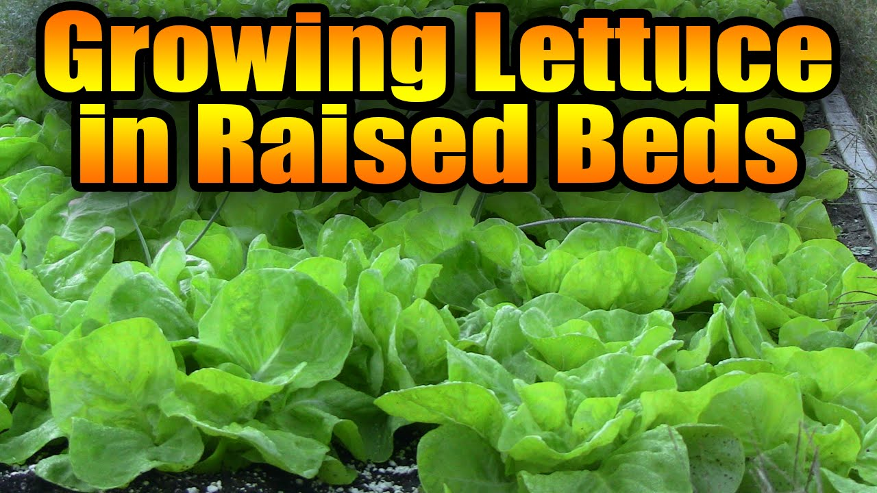 Growing Lettuce in Raised Beds - YouTube