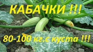 Как вырастить 80-100 кг кабачков с куста, с ранней весны, и до поздней осени !!!