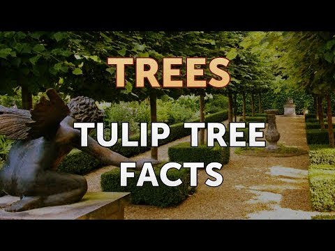 Tulip Tree Facts Youtube