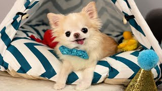 Chihuahua Ce…