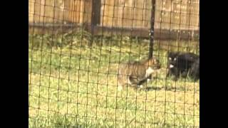 Cats on video trying to escape Purrfect Fence