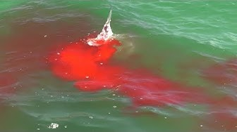 Bloody Hammerhead Shark Attack during Shark Week 2019