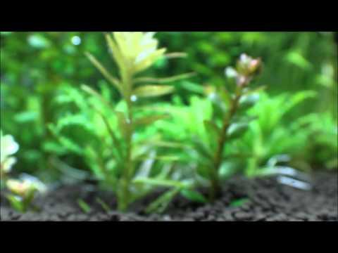 Misidentified Aquarium Plants ep. 5 Rotala Indica