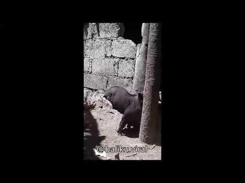 83+ Gambar Babi Berkaki Dua HD