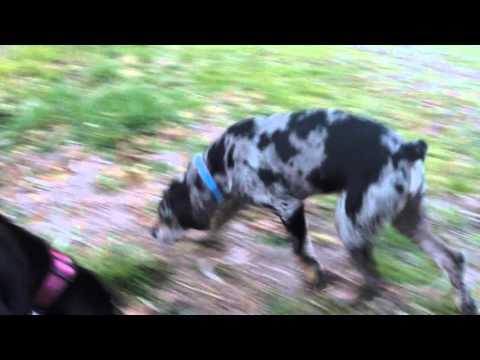 American Leopard Hound Pups in HD