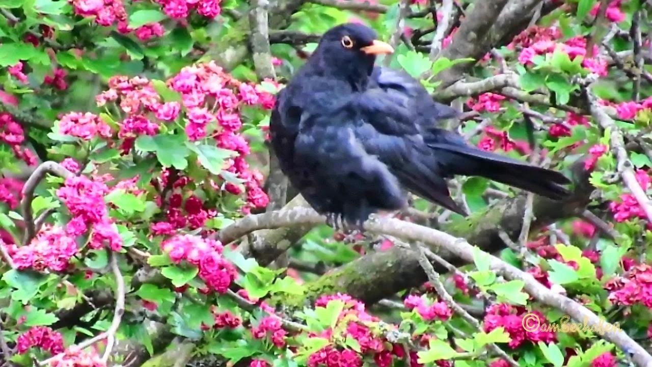 amsel im rotdorn vogelbeobachtung birding male blackbird. Black Bedroom Furniture Sets. Home Design Ideas