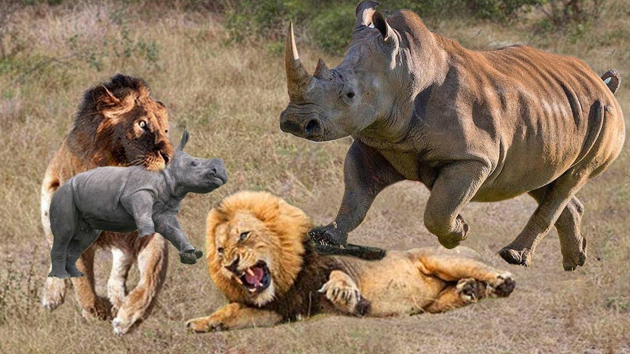OMG! Rhino Mother Destroy 2 Lions Rescue Baby. Animals Fighting. Rinoceronte vs Leon