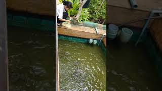 푸켓 그레이스랜드 리조트 물고기 밥주는 모습 (Feed…