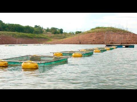 Cria de tilapias en jaulas flotantes primera for Criar mojarras en casa