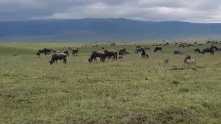 Танзания. Великая миграция животных