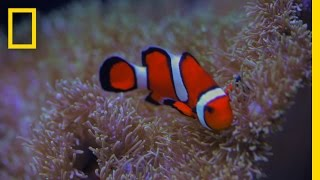 'Finding Nemo' Plot Twist? Clownfish Can Go Through Sex Changes | National Geographic