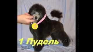 С.К.С. Самые красивые собаки.Топ 30