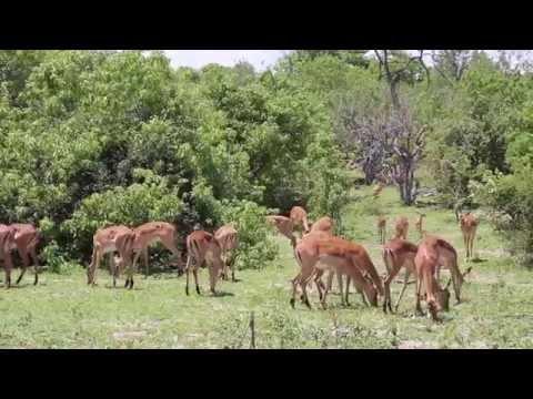 Botswana Parc national Chobé avec éléphants, girafes, hippopotames, lions / Botswana Park Chobe