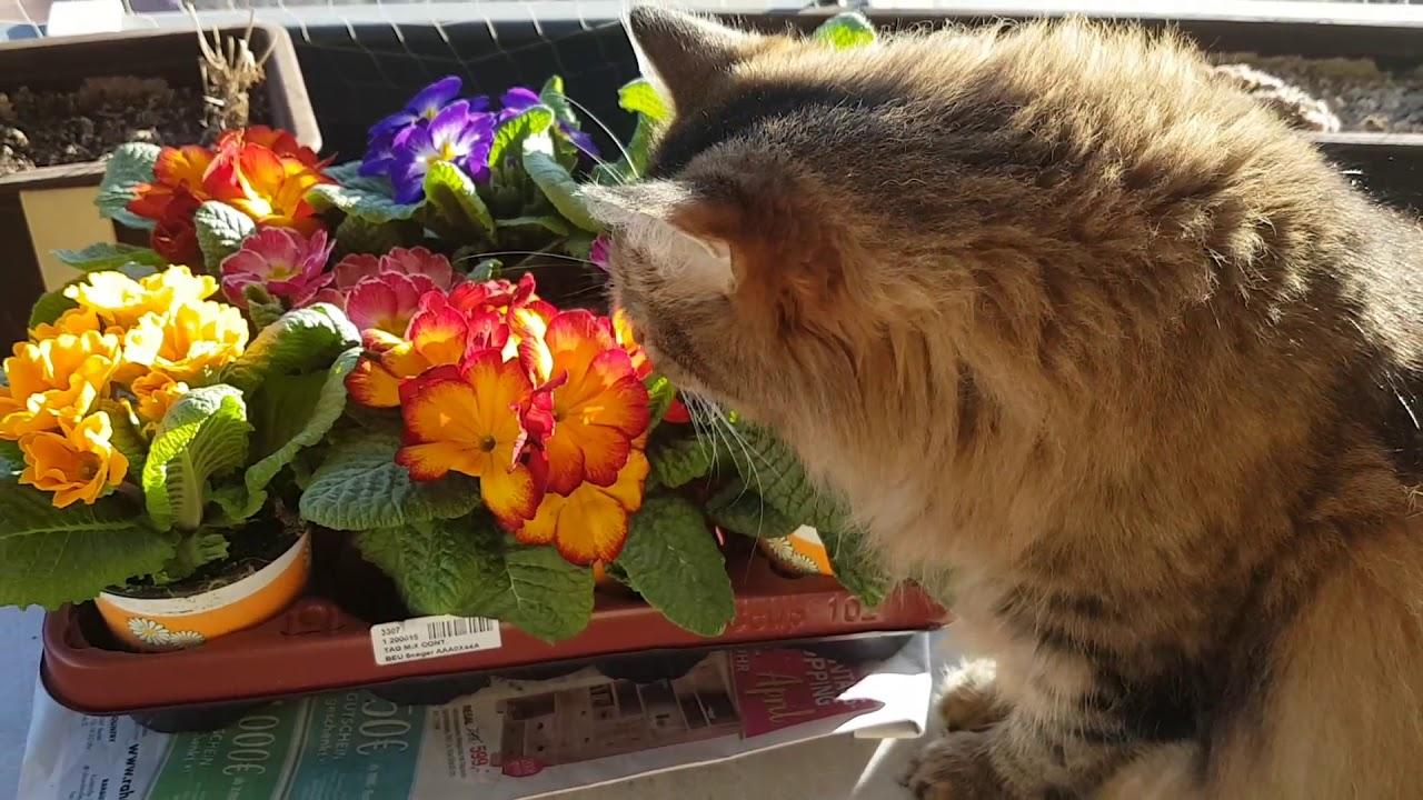 Meine Maine Coon Mix Katze Beschnuppert Die Primeln Fur Balkon Youtube