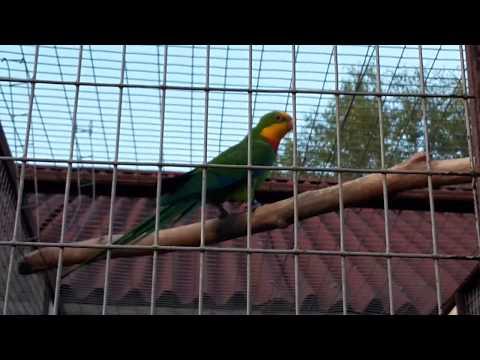 Роскошный барабандов попугай Barraband's parrot