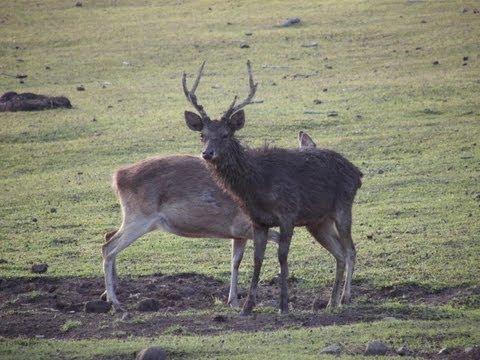 Hunting Rusa deer in New Caledonia part 36