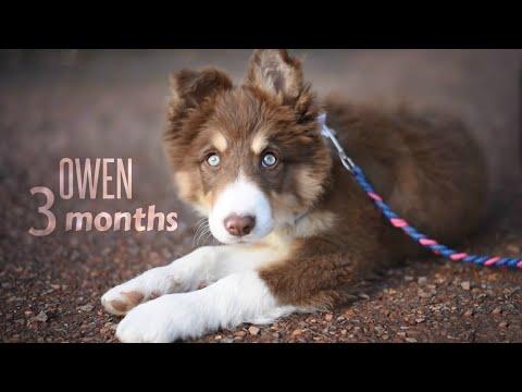Owen • Border collie (3 mois)