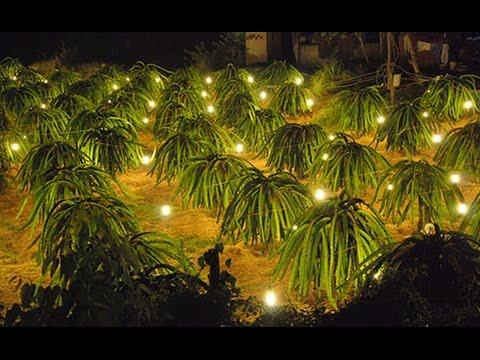 Sử dụng bóng đèn chiếu sáng cho vườn thanh long