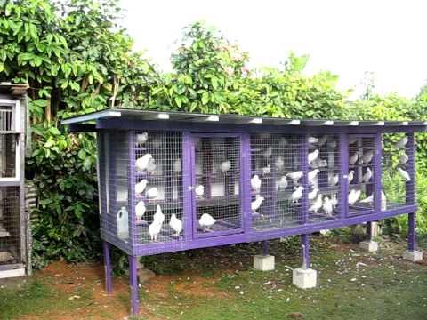 White Doves of Koolau 8-01-11