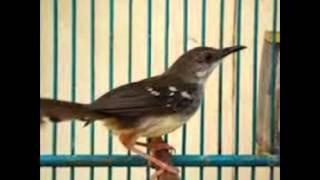 Suara Burung Prenjak Jantan | Prenjak Super Gacor