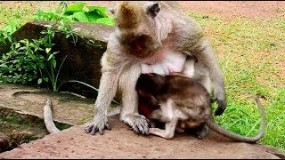 What Happen Wrong On Polly Baby Monkey?| Polly Much Concern Because Mum Weaning.