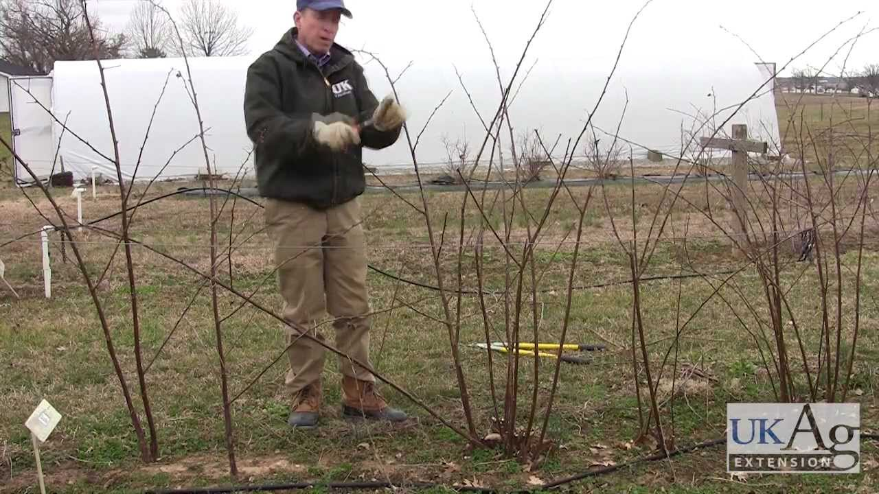Blackberry Pruning Demonstration You