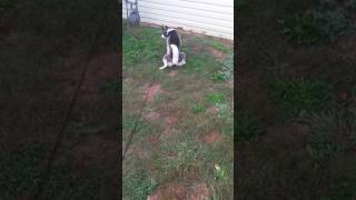 Brown's Training: 9 Month Old Alaskan Husky trained to potty outside