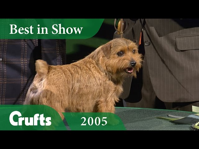 Norfolk Terrier wins Best In Show at Crufts 2005 | Crufts Classics