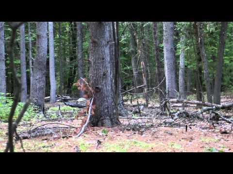 Baby Bigfoot Sighting (Massachusetts)
