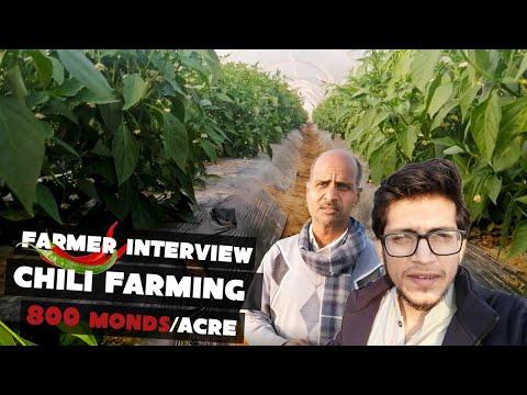 Green Chili Farming In Tunnel   Cost And Production Per Acre   Farmer Interview