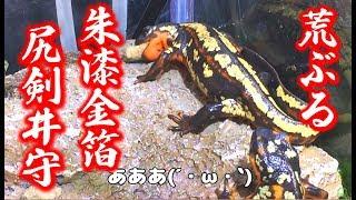 学名:Cynops ensicauda 和名:シリケンイモリ 英名:Sword-tail newt B...